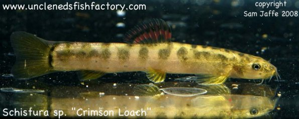 CrimsonLoach1_web