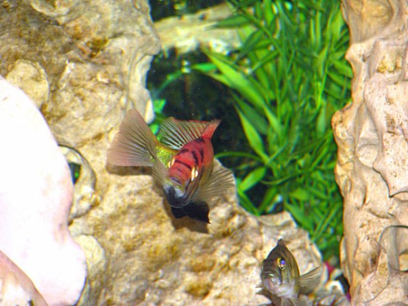 xystichromis-sp.-flameback-kyoga-allred3
