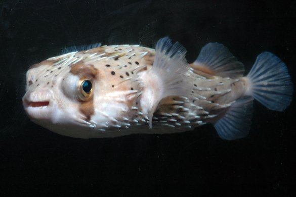 Gallery new rich pierce gallery porcupine puffer for Porcupine puffer fish