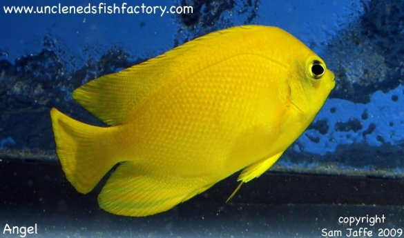 Gallery Uncle Ned 39 S Assorted Saltwater Fish Yellow
