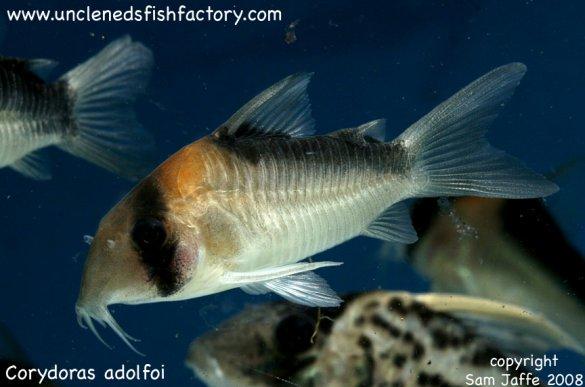 Gallery Callichthyidae - Corydoras and friends Corydoras adolfoi