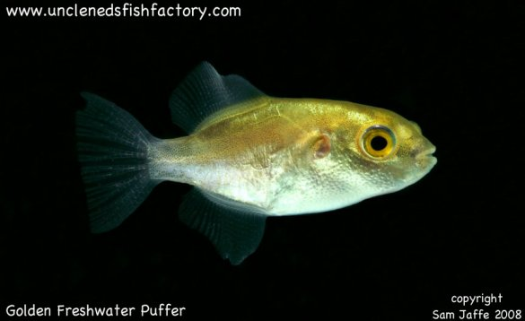 Gallery uncle ned 39 s pufferfish auriglobus species for Fresh water puffer fish
