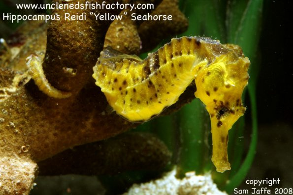 Yellowseahorse1_web