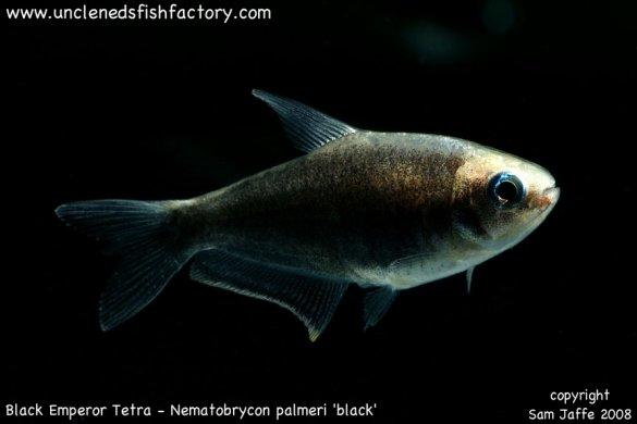 ... Characins Nematobrycon palmeri black - Black Emperor Tetra