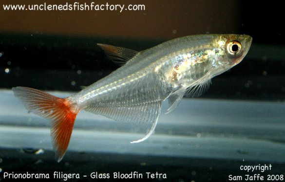 ... South American Characins Prionobrama filigera - Glass Bloodfin Tetra